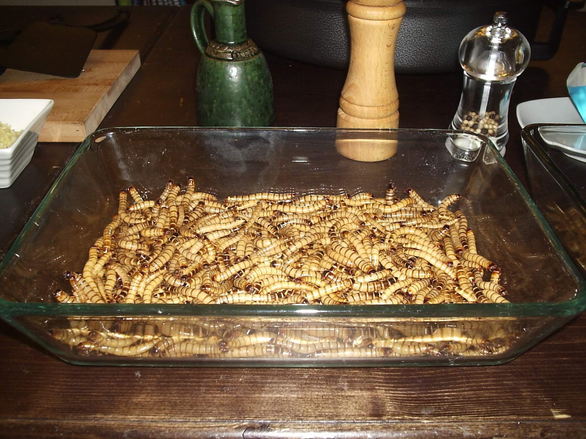 Larva pokoutníka brasilského