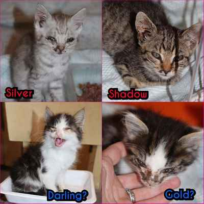 Při příjmu ... Zavolala nám paní, že má zahrádku na Štěpnici v Hodoníne za elektrárnou a že tam k ní přišla kočka s pěti koťaty, fotky zde. Jsme plní a máme vyhlášený STOP STAV, tak jsme se s paní domluvili, že kočku vykastrujeme, koťata jsme ošetřetřili a paní se o ně zatím postará a my jim budeme hledat domov. Kočku si nechá.  Když jsme přivezli vykastrovanou kočičí mámu zpátky, paní nám řekla, že už ví, odkud k ní kočička s koťaty přišla a nasměrovala nás k dalšímu zahrádkáři.  Bohužel u pána byla další kočka se čtyřmi koťaty, tentokrát koťata byla ve velmi špatném stavu, tak jsme je tam nemohli nechat, fotky zde. Kočku jsme dali vykastrovat a  vrátili zpátky a koťátka jsou u nás.  Prosíme, kastrujte! Kdyby pán nechal kočky kastrovat, nemuselo tady být dalších devět nechtěných koťat!