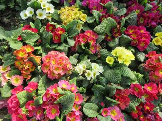 Prvosenka (z latinského Primula = malá první, jelikož často kvetou brzy zjara, česky lidově petrklíč) je rod vytrvalých bylin (výjimečně jednoletých). Většina původně roste v Evropě a Asii, několik druhů v Americe. Celkem existuje asi 550 druhů prvosenek. Některé jsou pěstovány pro ozdobu. Mezi naše domácí druhy patří prvosenka Primula elatior var. corcontica, která je Krkonošský neoendemit, roste jen zde, nerozšířila se nikam jinam.