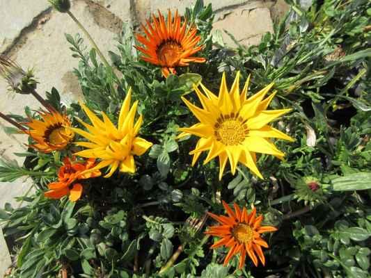 Gazánie je nižší příbuzná kopretiny. Obě totiž spadají do čeledi hvězdnicovité (Asteraceae). Ve své domovině, v Africe, se jedná o trvaĺku. U nás se pěstuje jako letnička, která nás ohromí barevnou paletou barev a tvarů květů, kterými nás obdaří jak na záhonku, tak v truhlíku. Třebaže je rostlinka s přízemní růžicí kopinatých maximálně 30-40 cm vysoká, květy mohou být velké i přes 10 cm. Stejně jako je různá barva květů, můžete sehnat i gazánie s různými listy. Ty mohou být buď lesklé nebo s bělavým plstěním po jedné nebo po obou stranách. Výjimkou není sytě zelená barva stejně jako stříbrná.