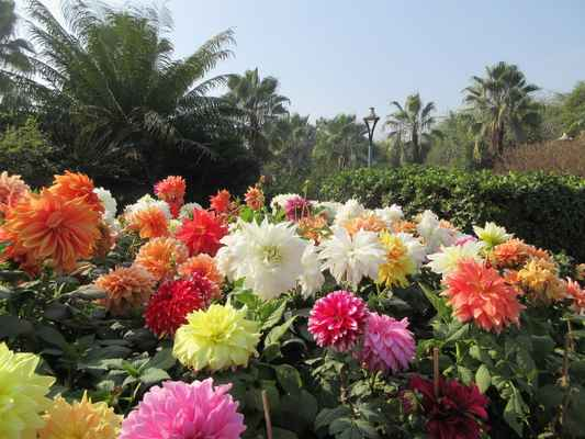 Jiřiny dekorační – jsou plnokvěté, se stočenými květními plátky, okraje plátků směřují nahoru. Patří sem i podskupina leknínovitých jiřin, jejichž řady vnějších plátků jsou plošší a středové uzavřené, podoba s květem leknínu je velmi výrazná. Kulovité jiřiny – mají tvar květu symetricky kulovitý, květní plátky do poloviny svinuté a husté. Řezané květy dlouho vydrží, hodí se do vazeb. Pomponky – jsou podobné předešlým, musí mít ale menší květy (kolem pěti centimetrů), plátky jsou stočeny do rourek. Jsou vhodné k řezu. Jiřiny kaktusovité – mají květní plátky víc než polovinou stočené dolů, nebo trubkovitě. Střed není vidět, jsou plnokvěté a elegantní. Výborně se hodí k řezu. Semikaktusové jiřiny – jsou podobné předešlým, květní plátky mají širší, některé odrůdy i roztřepené. Ostatní zvláštnosti – sem jsou zařazeny všechny jiřiny, jejichž květy se liší od předchozích skupin. Známé jsou hlavně orchidejové, hvězdicovité a chryzantémové jiřiny, jakož i botanické druhy.