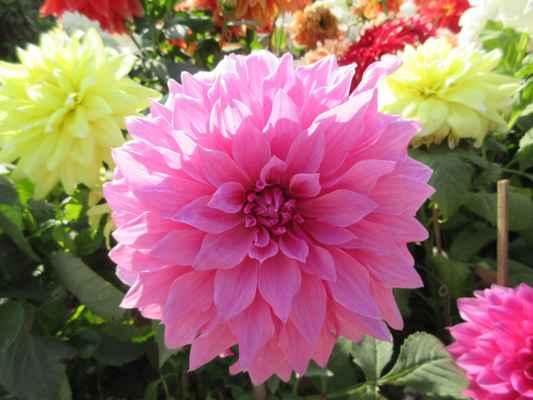 Proč se jmenuje jiřina? Šlechtitel v botanické zahradě v Madridu pojmenoval zvláštní novou květinu po svém příteli, švédském botanikovi Andreasu Dahlovi. Podobný nápad měl německý profesor Wildenow, když dal kytce jméno po svém kolegovi, jenž se jmenoval Georgi.   Způsobil tím trochu zmatek, ovšem botanický název Dahlia zůstal a ze jména Georgina vznikly názvy národní – odtud i naše jiřina (jiřinka).