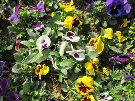 Violka (Viola L.) je rod jednoletých až vytrvalých bylin. Listy jsou řapíkaté. Květy jsou někdy rozlišeny na chasmogamické (s barevnými korunami a jsou opylovány hmyzem a kleistogamické (zakrnělé, zelenavé, s autogamií) nebo nejsou rozlišeny. Kališní lístky jsou štítovité, jejich přední část je čárkovitě trojúhelníkovitá, zadní část za místem přirůstání tvoří kališní přívěsek. Dolní korunní lístek vybíhá v ostruhu. Plodem je tobolka. Semena často mají masíčko, které slouží pro myrmekochorii (semena rozšiřována mravenci).