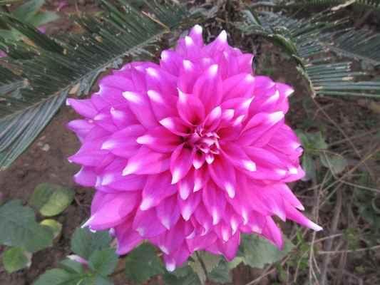 Úspěch jiřin v Evropě První jiřiny s jednoduchými květy se koncem 18. století dostaly do botanické zahrady v Madridu. Jejich obliba začala prudce stoupat, když díky poměrně jednoduchému křížení a množení vznikaly stále nové a nové odrůdy.