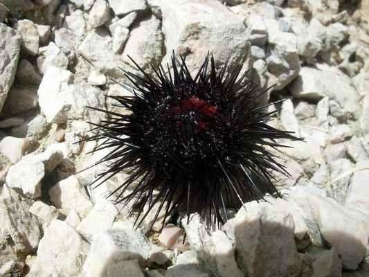 """ježovka - """"mořský ježek"""""""